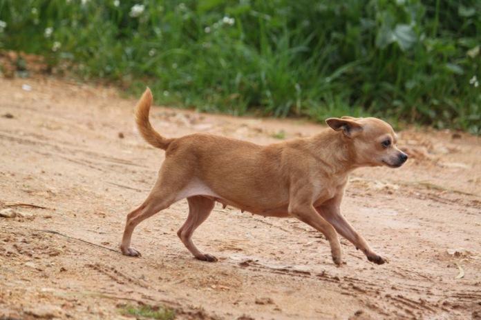 reinrassiger Chihuahua