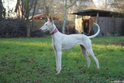 Podenco Ibicenco XIQWE / XICHA, born 09/2013, from 02/2015 - found her final home in April 2015