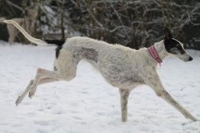 Galga CAZANDRA - found a new home near Frankfurt/Main in January 2010