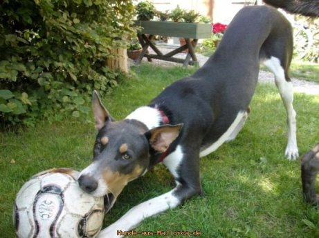 DIEGO (Podenco Ibicenco-Pastor Mallorquin-crossbreed) found a new home in Hamburg in August 2010