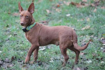 NELSON, Podenco Maneto, from November 2011, found a fantastic home in Dec 2011 and now lives with BOSSI