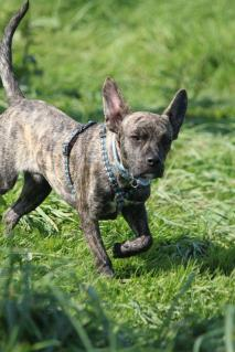 MORITZ, French Bulldog-Ratero-X, from September 2011, found a new home in October 2011