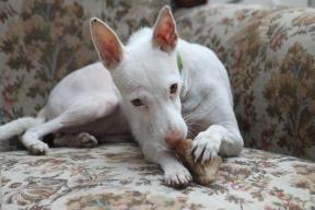 LIBÉLULA, Podenco Andaluz pequeño, born 3/2011, deaf and hip handicapped but sooooo sweet <3 <3 <3, 01/2012 - 02/2012, now lives in Basel/Switzerland